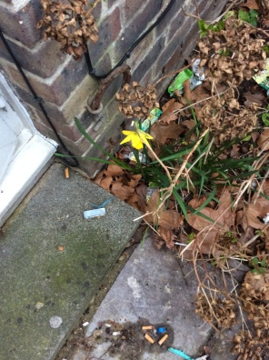 As I take one last look around the garden at the flowers that siuppricely grow with all the rubbish that gets thrown to the winders lat year there was 3daffodils but this one only ones come up